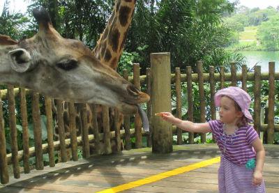Feeding giraffes at Singapore Zoo