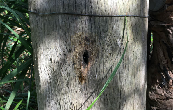 Native stingless bee colony in a tree stump
