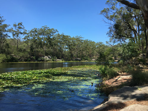 A lake with lilies, surrounded by Eucalypt forest