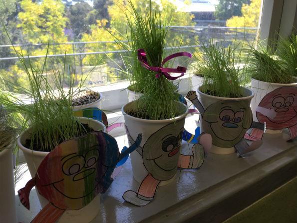 Plant growth experiment at Lane Cove Public School