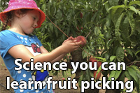 Science you can learn fruit picking; a girl picking a peach off a tree
