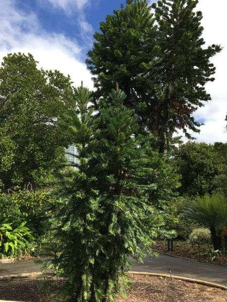 Wollemi pine at Royal Botanic Garden Sydney